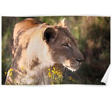 Lioness sneaking up Poster