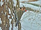 Northern Yellow Shafted Flicker - Colaptes auratus by MotherNature