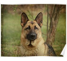 Yahtzee--German Shepherd Poster