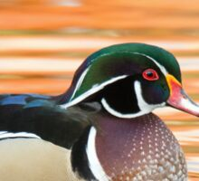 Wood Duck early October morning Sticker