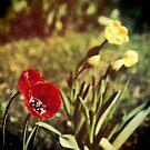 Spring tulips by Silvia Ganora