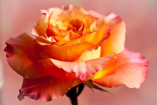 The Rose 3 by Jacinthe Brault