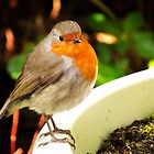 Robin red breast  by buddybetsy