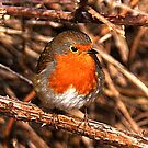 ROBIN. by AndyReeve