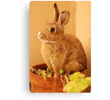 potted bun Canvas Print
