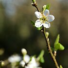 Blackthorn by jonshort58