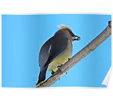 Cedar Waxwing with Juniper Berry Poster