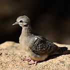 Baby Mourning Dove  by Saija  Lehtonen