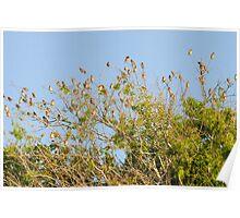 Cedar waxwing Poster