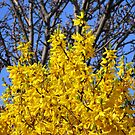 Golden Forsythia against a Cloudless Blue Sky by BlueMoonRose