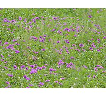 Texas Stork's Bill Grows in Large Groups Photographic Print