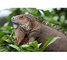 Iguana-Suit of Armour Photographic Print