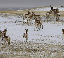 Pronghorns! by Alyce Taylor
