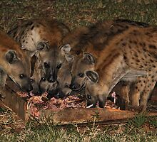 Pack of Spotted Hyena Scavenging at Night by Carole-Anne