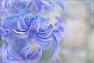 hyacinth by Teresa Pople