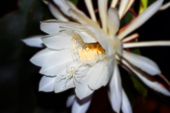 Queen of the Night Flower in Colour by photosbybec