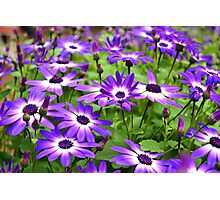 Bursts of Purple and White Photographic Print