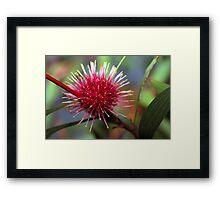 Pincushion Hakea Framed Print