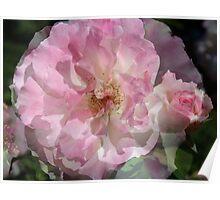Collage of Olde Worlde Rose Poster