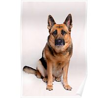 German Shepard - Aries Poster