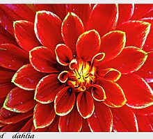 red dahlias by pascal  desvignes