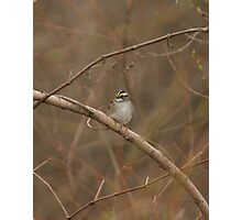 White-throated Sparrow Photographic Print