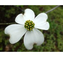 One Bloom Photographic Print