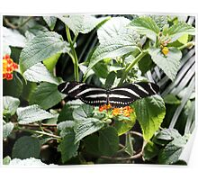 Zebra Longwing Butterfly on Flower Poster