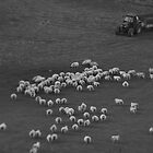 Sheep tilt shift by James Taylor