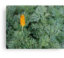 First California Poppy Of The Season Canvas Print