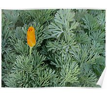 First California Poppy Of The Season Poster