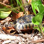 Angulate Tortoise by croust