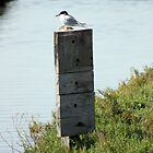 Tern On a Post by arr333