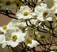 The Dogwoods.. by Ruth Lambert