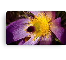 Pasque Flower Canvas Print