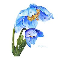Twin Blue Poppies Photographic Print