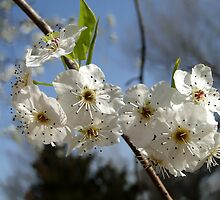 Pear Blossoms 3 by Carolyn  Fletcher