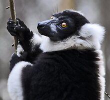 Ruffed Lemur by Ladaniel