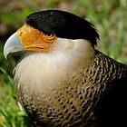 Crested Caracara by Robert H Carney