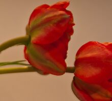 Red tulips  by KSKphotography