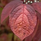 Red Dogwood Leaf by Rod J Wood