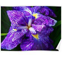 Iris © Poster