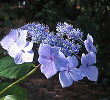 Periwinkle Blue and Lace! by Pat Yager