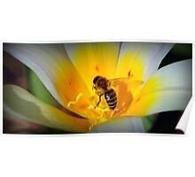 Bee collecting pollen - Van Dusen Botantical Garden Poster