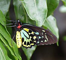 Male Birdwing Butterfly by SunshineKaren