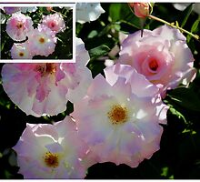 Collage of Olde Worlde Pink Roses by alycanon