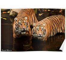Tigers- Melbourne Zoo 02 Poster