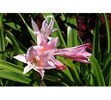 Pink Day Lily Photographic Print