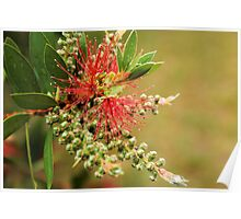 Bottle Brush Flower CU Poster