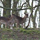 Fallow Deer 3265 by DutchLumix